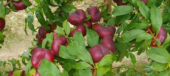 (Español) Proseplan, más de 30 años dedicados a la fruticultura