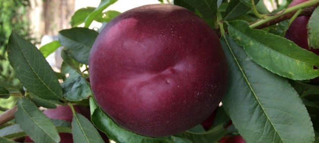 Yellow flesh Nectarine Netix (5-48)