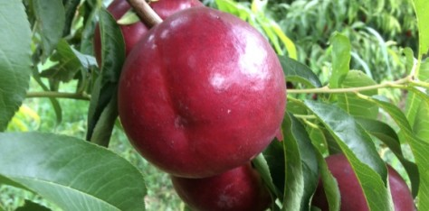 Our yellow flesh Nectarine Netix 31 is already being harvested