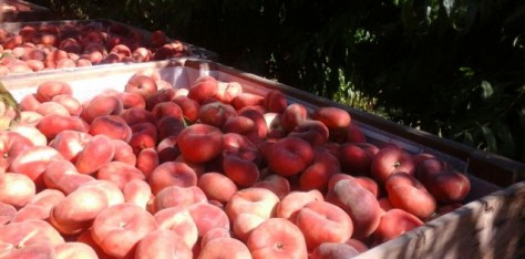 Our Guayox® 35 white flesh Saturn Peach variety has been already harvested