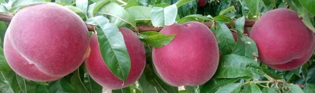 It is already being harvested our white flesh peach variety Melox® 26, Big Top time.