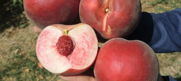We have already harvested our Melox ® 31 variety, White flesh Peach of beginning of August.