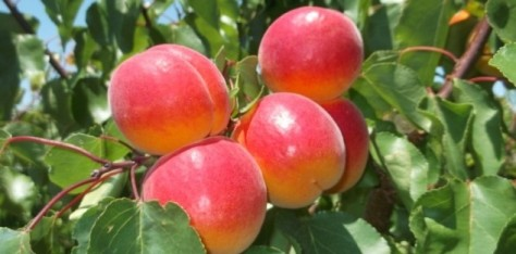 Aprix® 116, Self-fertile apricot variety.