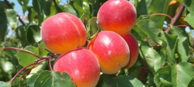 Aprix® 116, Self-fertile apricot variety.